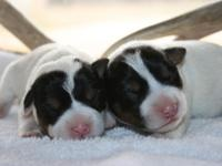 Parson Jack Russell Terrier available for sale. Two