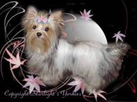 parti male yorkie that may be a carrier for Chocolate