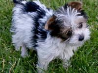 This is a Female Parti-Color Yorkie, 9 weeks old and