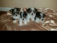 2 male 1 female AKC registered Parti Yorkshire Terrier.