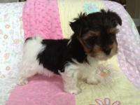 I have 2 new puppies 8 weeks old- stunning Full Parti