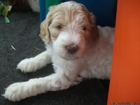 We have four male parti labradoodle puppies looking for