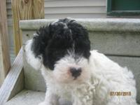 This handsome Male Parti Toy Poodle is primarily white