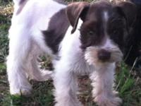 Gorgeous litter of APRi registered Mini schnauzers 2