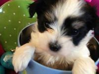 Parti morkie puppies mother ckc registered maltese