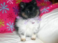 Pretty female Pomeranian. She is black and white parti
