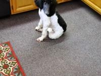 Black an white flashy loving parti poodle female