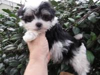 Beautiful , rare Biewer Yorkie puppies are ready for a