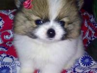 True teacup Pomeranian young puppies, 10 weeks old.