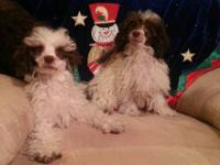 These handsome, small toy poodle puppies are a