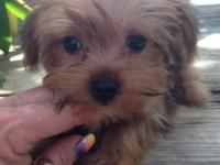 Male Parti Yorki, almost 12 weeks old and ready to find