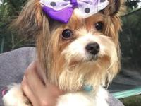 I have a Parti Yorkie female that is 2 years old and is