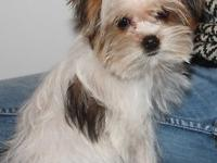 Perfect little Parti Yorkie, Male, comes with all three
