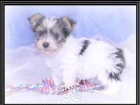Parti Yorkie Puppies for sale - 1 male for $950.00 and