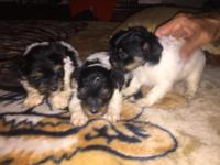 Pure AKC registered Parti Yorkies, very cute, please