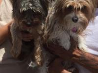 PARTI-YORKIE PUPPIES BORN 06/30/2012 WILL BE READY ON