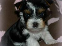 I have 5 adorable parti yorkie young puppies offered. 2