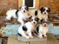 I have Four sweet and adorable Parti male Yorkies for
