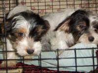 I have two beautiful, registered, male parti-yorkies.