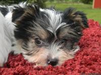 I have 3 cute purebred Parti Yorkshire Terrier females