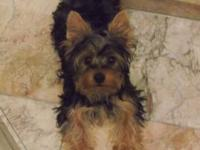 Cute Yorkshire Terrier Puppies doll faces with the