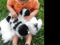Five Pomeranian Puppies for Sale born July 14, 2013 -