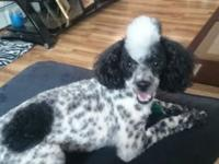 I have a male parti poodle named rayo that is 1 1/2