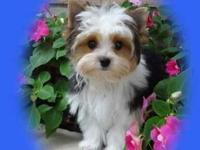 Willy is a darling little Parti colored yorkie who