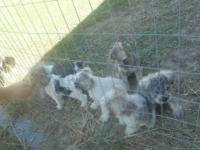 CELEBRATION MINIATURE SCHNAUZERS-. These are really