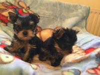 Party Pocket Tea cup Yorkshire Terrier Puppies