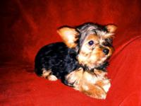 2 beautiful party Yorkie females. Dad is a purebred
