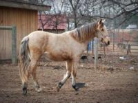 Paso Fino - Delilah - Large - Young - Female - Horse