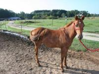 Paso Fino - Tiny Tim - Medium - Baby - Male - Horse Tim