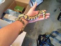 exquisite pastel ball python! very tame. eats