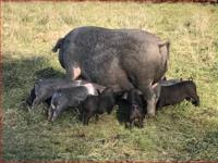 We have four free range Heritage Hogs that will be