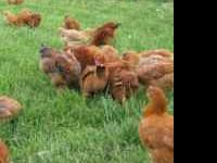 I will have around 20 Freedom Ranger chickens ready to