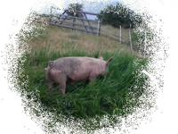 Pasture raised hogs, butcher ready. No