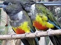 For sale 2 female and 1 male Patagonian parrot.