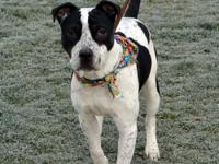 Patch is a 7-8 month old Terrier mix male. He was