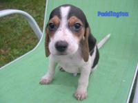 """Patches"" is an adorable Beagle puppy, he is 8 weeks"