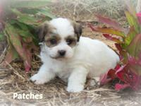 Patches is an adorable CKC registered Shih-Apso puppy
