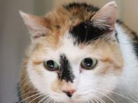 Patches's story Patches is a sweet girl who is spayed