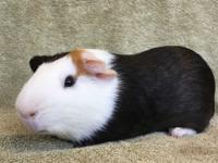 Patchy is a male black, white, and orange American