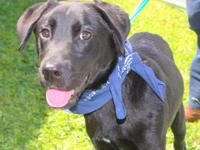 Patrick is a young lab mix at only 6 months old. He is