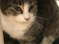 Meet Patron... an adorable one year old tabby ready for