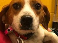 Patsy's story Patsy is a happy little Beagle we rescued