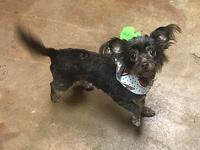 Patsy's story Patsy is a 3 year old Lhaso/chi mix, utd