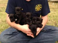 I have a litter of Patterdale Terrier puppies. They