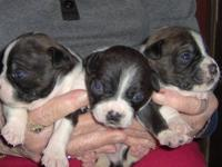 We have an adorable litter of Patton Terrier puppies