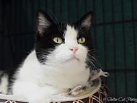 PattyCakes's story Pretty Senior DSH White & Black